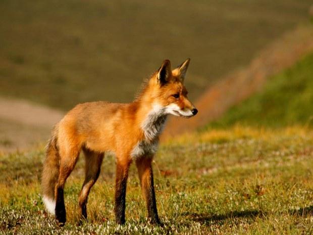 Fuchs in der Natur