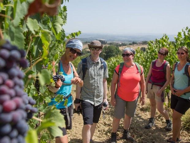 Traubenpflücken im Weingarten